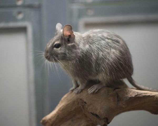 jerbos domésticos mascotas grises